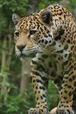 Jaguar - Panthera onca Stock Images