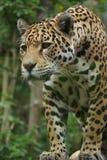 Jaguar - Panthera onca Stock Images