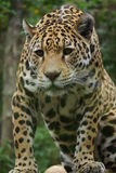 Jaguar - Panthera onca Stock Image