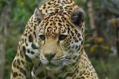 Jaguar - Panthera onca Stock Photography