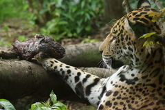 Jaguar - Panthera onca Royalty Free Stock Image