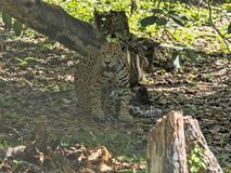 Jaguar, Panthera onca, is the largest American feline, Guatemala. The Jaguar, Panthera onca, is the largest American feline, Guatemala stock photography