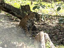 Jaguar, Panthera onca, is the largest American feline, Guatemala. The Jaguar, Panthera onca, is the largest American feline, Guatemala royalty free stock photo