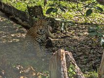 Jaguar, Panthera onca, is the largest American feline, Guatemala. The Jaguar, Panthera onca, is the largest American feline, Guatemala stock image