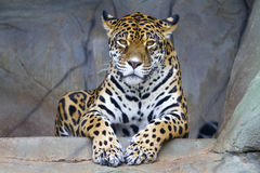 Jaguar Panthera onca Stock Photography