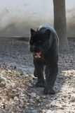 Jaguar (Panthera onca) stock photos