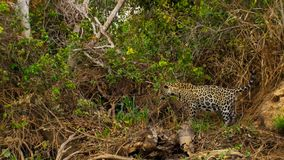 A jaguar, Panthera onca from Pantanal, Brazil. royalty free stock image