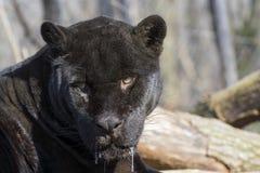 Jaguar (Panthera onca) royalty free stock photo