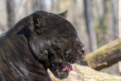 Jaguar (Panthera onca) Stock Images
