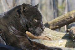 Jaguar (Panthera onca) Royalty Free Stock Images