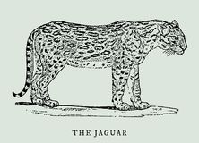 The jaguar panthera onca in profile view. Illustration. The jaguar panthera onca in profile view after a vintage woodcut engraving illustration from the 18th Royalty Free Stock Photography
