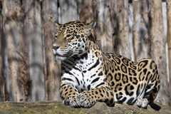 Jaguar Panthera onca resting on the trunk in a typical position Stock Photography