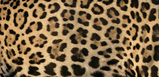 Jaguar, Panthera onca Stock Photo