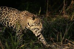 Jaguar, Panthera onca. Single mammal in the Pantanal, Brazil Stock Images