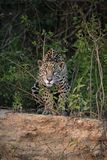 Jaguar, Panthera onca Royalty Free Stock Images