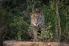 Jaguar, Panthera onca Stock Photography