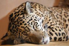 Jaguar - panthera onca sleeping Stock Images