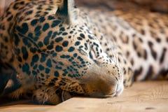 Jaguar - panthera onca sleeping Stock Photos