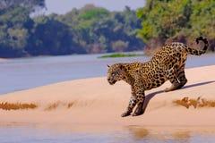 Jaguar Panthera Onca som är kvinnlig, Cuiaba flod, Porto Jofre, Pantanal Matogrossense, Mato Grosso Do Sul, Brasilien arkivfoto