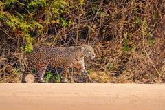 Jaguar Panthera Onca som är kvinnlig, Cuiaba flod, Porto Jofre, Pantanal Matogrossense, Mato Grosso Do Sul, Brasilien arkivbilder