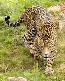 Jaguar ;panthera onca. A Jaguar - panthera onca, stalking prey, looking into the camera Stock Images