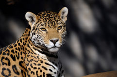 Jaguar. Panthera onca, the third-largest feline after the tiger and the lion Royalty Free Stock Photos