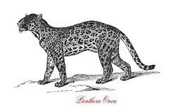 Jaguar Panthera onca, vintage engraving. The jaguar Panthera onca is a big cat, a feline in the Panthera genus; and is the only extant Panthera species native to Royalty Free Stock Image