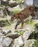Jaguar Panthera onca wild cat species, genus Panthera native to the Americas. Largest native cat species of the New World stock image