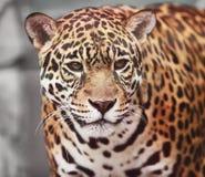Jaguar - Panthera onca. Wild lebende Tiere Stockfotos