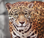 Jaguar - Panthera onca. Wildlife Stock Photos
