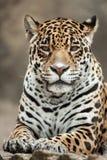 Jaguar Panthera onca. Royalty Free Stock Photo