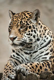 Jaguar Panthera onca. Royalty Free Stock Image