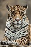 Jaguar Panthera onca. Stock Photos