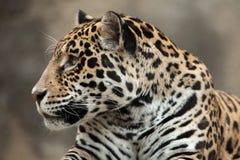 Jaguar Panthera onca. Royalty Free Stock Images