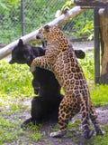 Jaguar (Panthera onca) wrestling Royalty Free Stock Photos