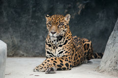 Jaguar ( Panthera onca ) Stock Images