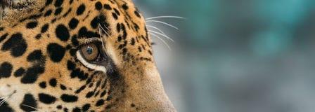Jaguar ( Panthera onca ) Royalty Free Stock Image