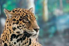 Jaguar ( Panthera onca ) Stock Image