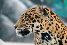 Jaguar ( Panthera onca ) Royalty Free Stock Photos