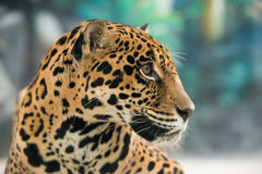 Jaguar ( Panthera onca ) Royalty Free Stock Image