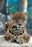 Jaguar ( Panthera onca ) Royalty Free Stock Photography