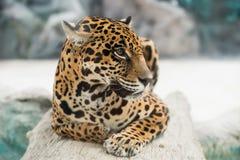 Jaguar ( Panthera onca ) Stock Photos