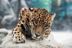 Jaguar ( Panthera onca ) Stock Photo