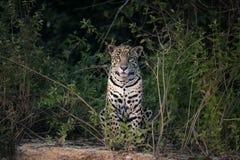 Jaguar Pantheraonca royaltyfri bild