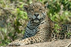 Jaguar Pantheraonca Arkivfoton
