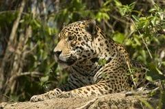Jaguar Pantheraonca Royaltyfri Foto