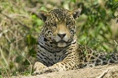 Jaguar Pantheraonca Royaltyfri Fotografi