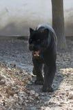 Jaguar (Pantheraonca) Arkivfoton