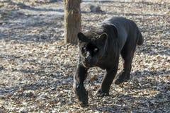 Jaguar (Pantheraonca) Royaltyfri Foto