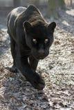 Jaguar (Pantheraonca) Arkivbilder